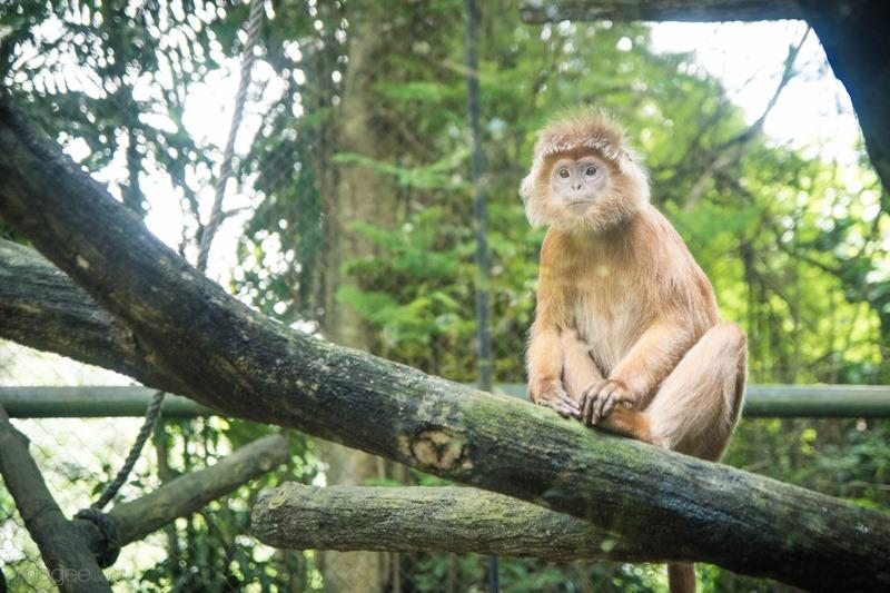 Bersua Gorila di Pusat Primata Schmutzer Ragunan | the atmojo